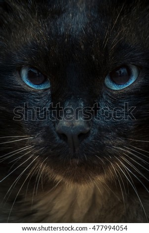 Siamese cat with blue eyes closeup. vintage toning image