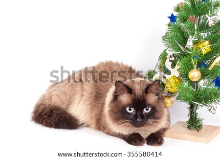 Siamese cat  with christmas decorations