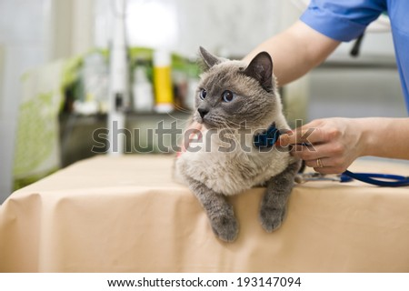 Siamese cat with veterinarian doctor - stock photo
