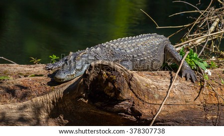 Siamese crocodile ( Crocodylus siamensis) relaxing on the wood and stair at us in real nature at Khao Yai national park ,Thailand - stock photo