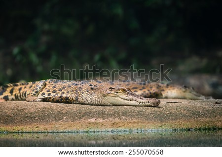 Siamese crocodile (Crocodylus siamensis) rest on a stone near water - stock photo