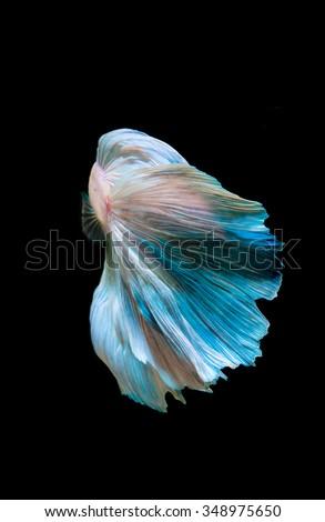 siamese fighting fish, betta fish isolated on black - stock photo