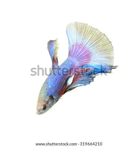 siamese fighting fish, Betta fish isolated on black background. - stock photo