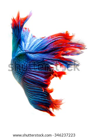siamese fighting fish, betta fish isolated on white