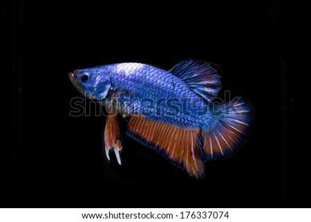siamese fighting fish, betta fish on black background - stock photo