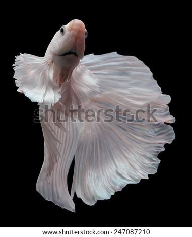 siamese fighting fish, betta isolated on black background. - stock photo