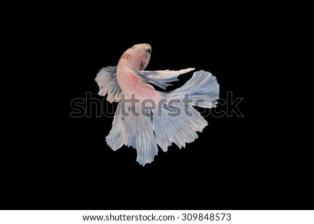 siamese fighting fish, betta isolated on black background.