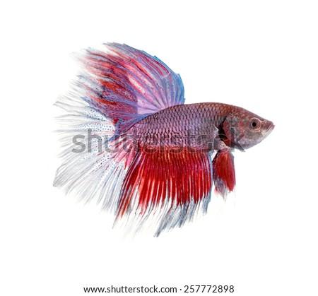 siamese fighting fish , betta on white background. - stock photo