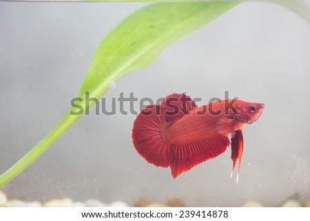 siamese fighting fish, betta splendens. - stock photo
