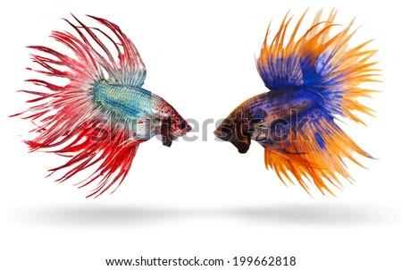 siamese fighting fish, betta splendens, Crown Tail Betta isolated on white background - stock photo