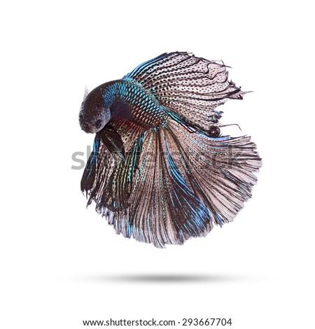 siamese fighting fish, betta splendens, Double Half Moon Betta isolated on white background  - stock photo