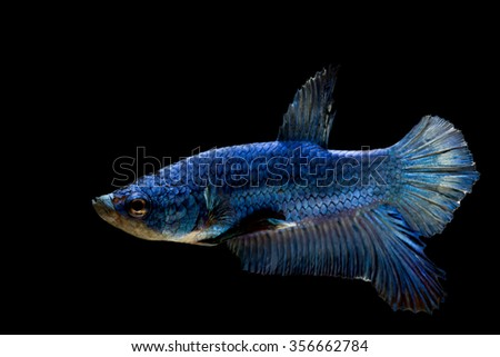 Betta fish big fin stock images royalty free images for Big betta fish