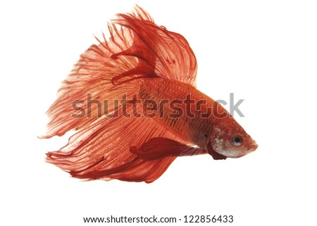Siamese fighting fish (Betta splendens) isolated on white background.