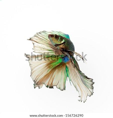 siamese fighting fish, betta splendens isolated on white background  - stock photo