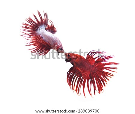 siamese fighting fish, betta splendens isolated on white background