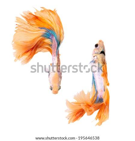 siamese fighting fish, betta splendens, yellow dragon betta female isolated on white background  - stock photo