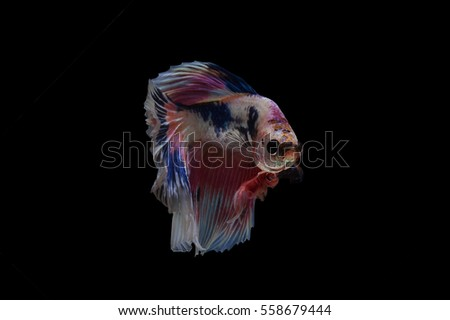Siamese fighting fish fancy halfmoon Betta freeze smooth movement. Isolated on black background.stop action.