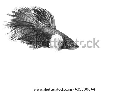 Siamese fighting fish isolate on black background in black and white