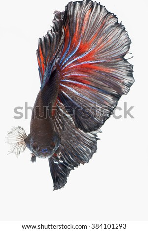 Siamese fighting fish isolated on white background. Betta fish