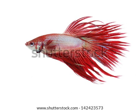Siamese fighting fish isolated on white background, Crown Tail Side view