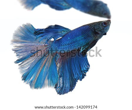 Siamese fighting fish isolated on white background, Half Moon - stock photo