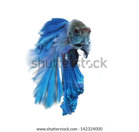 Siamese fighting fish isolated on white background, Half Moon Front View - stock photo