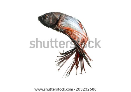 Siamese Fighting Fish isolated on white: Clipping path included - stock photo