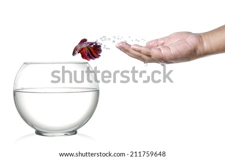 Siamese fighting fish jumping out of  human palm and into fishbowl isolated on white - stock photo