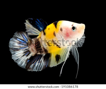 siamese fighting fish (koi style) isolated on black background.