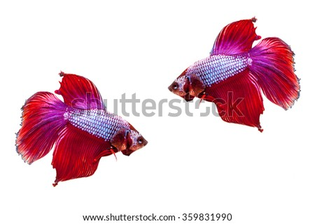 Siamese fighting fish on a white background.