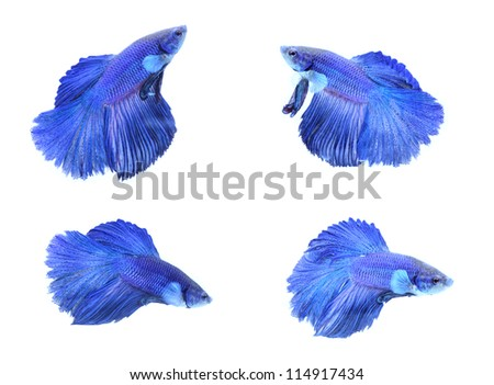Siamese fighting fish, on white background. - stock photo