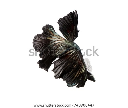 Siamese fighting fish (Tail Halfmoon) are swimming and the way they swim is like a bouquet of flowers. isolated on white background.