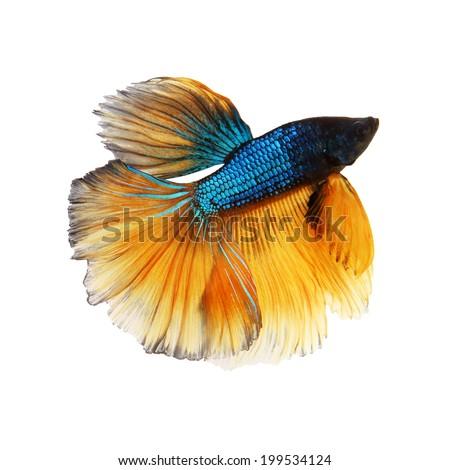 Blue and yellow betta fish - photo#28