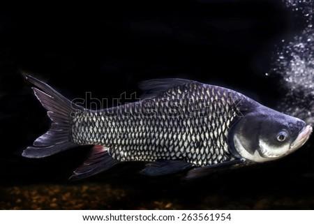 Siamese giant carp, Giant barb Fish,Thailand - stock photo