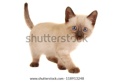 Siamese Kitten on White Looking at Camera - stock photo