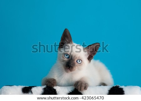 Siamese kitten sitting over blue background, looking at camera/ - stock photo