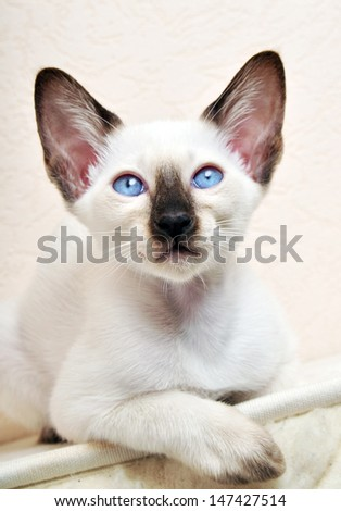 Siamese kitten, 8 weeks old, sitting in front of white background - stock photo