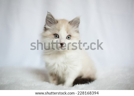Siamese Mix Kitten (5)