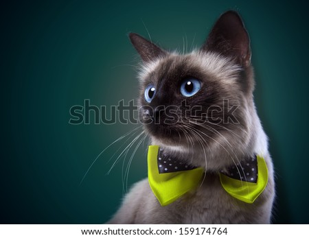 Siamese plays cat - stock photo