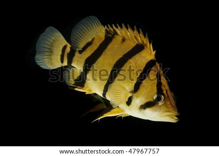 Siamese Tigerfish (Coius microlepis) isolated on black background.