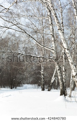 Siberia. A beautiful Sunny day in winter birch forest. - stock photo