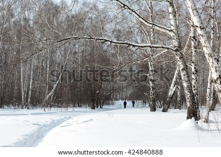 Siberia. People walk along the path in a birch forest on a Sunny day. - stock photo