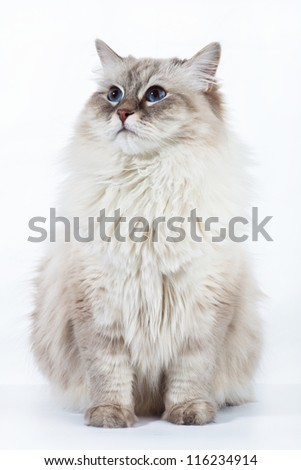 Siberian adult cat looking up on white background - stock photo