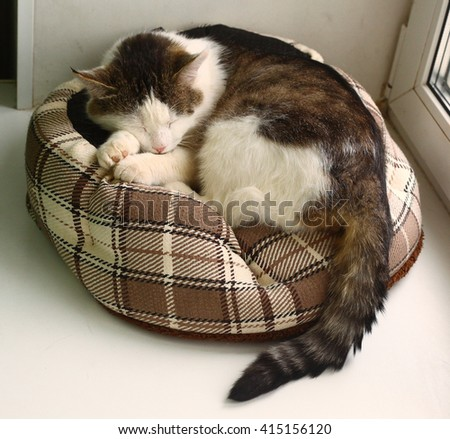 siberian adult tom cat sleep in pet bed close-up photo - stock photo