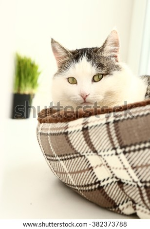 siberian breed cat close up portrait on the windowsill lay in cat bed and grass in pot - stock photo