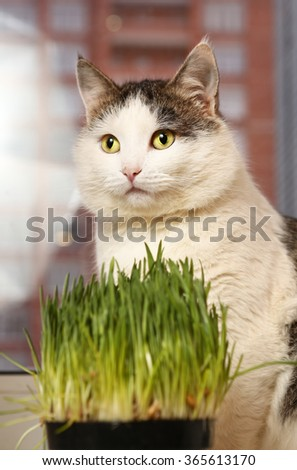 siberian breed cat close up portrait on the windowsill with grass sprouts in the pot - stock photo