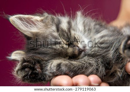 Siberian breed kitten sleeping on a man's hand