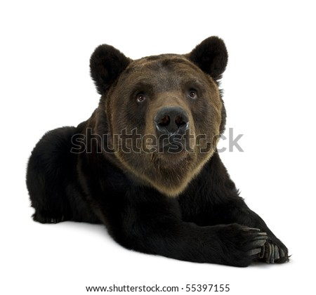 Siberian Brown Bear, 12 years old, lying against white background - stock photo