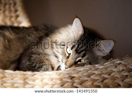 Siberian cat  - stock photo