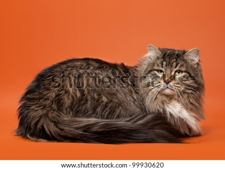 siberian cat black tiger with white on light brown background - stock photo